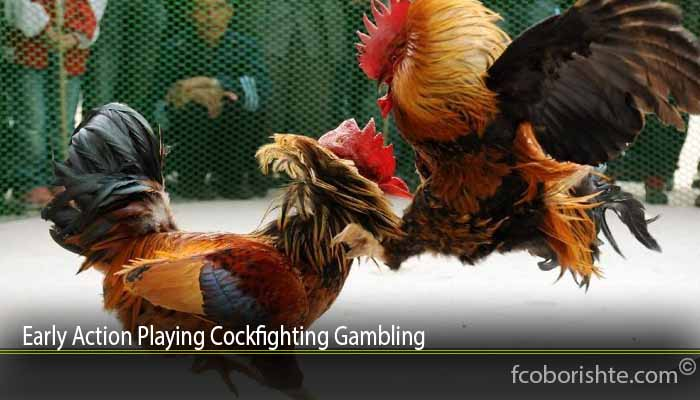 Early Action Playing Cockfighting Gambling